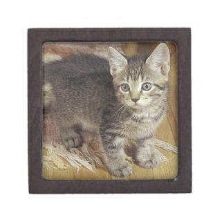 Silver tabby kitten, eight weeks old premium gift box