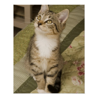 Silver tabby on bedspread posters