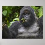 Silverback del gorila y del envejecimiento de mont poster
