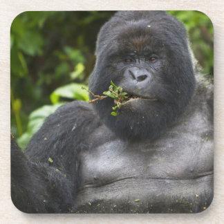 Silverback del gorila y del envejecimiento de mont posavaso