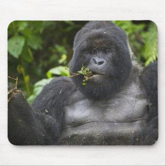Silverback del gorila y del envejecimiento de mont tapetes de raton