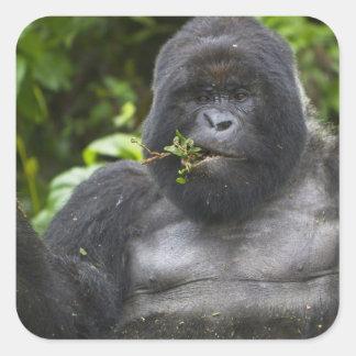 Silverback del gorila y del envejecimiento de calcomanías cuadradases