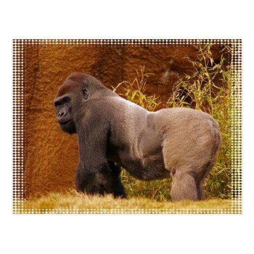 Silverback Gorilla Photo Postcard