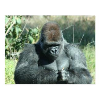 Silverback Gorilla Postcard