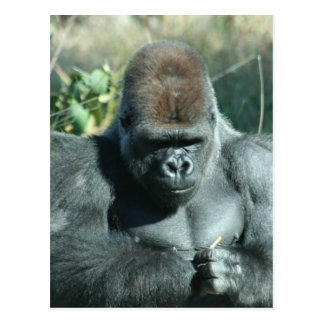 Silverback Gorilla Post Cards