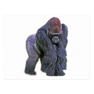 Silverback Gorilla, White Back (g2p2) Post Cards