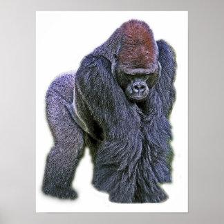Silverback Gorilla, White Back (g2p2) Poster