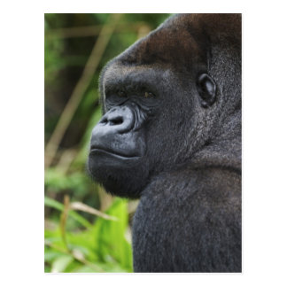 Silverback Lowland Gorilla, Gorilla Captive Postcard