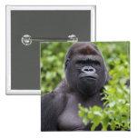 Silverback Lowland Gorilla, Gorilla gorilla, Button