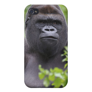 Silverback Lowland Gorilla, Gorilla gorilla, iPhone 4 Cases