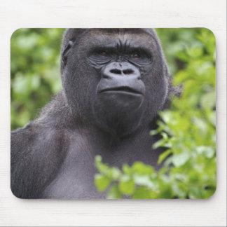 Silverback Lowland Gorilla, Gorilla gorilla, Mouse Pad