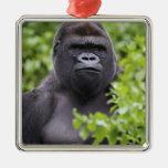 Silverback Lowland Gorilla, Gorilla gorilla, Ornament