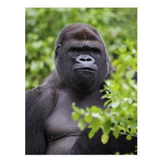 Silverback Lowland Gorilla, Gorilla gorilla, Postcard