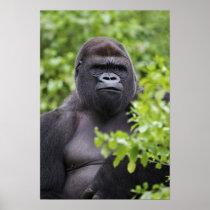 Silverback Lowland Gorilla, Gorilla gorilla, Poster