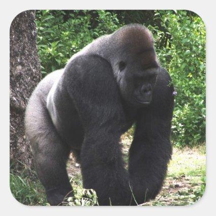 Silverback Male Gorilla walking head down.jpg Sticker