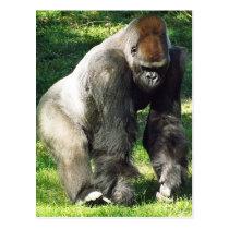 Silverback Male Lowland Gorilla Standing Up Postcard