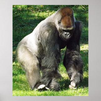 Silverback Male Lowland Gorilla Standing Up Print