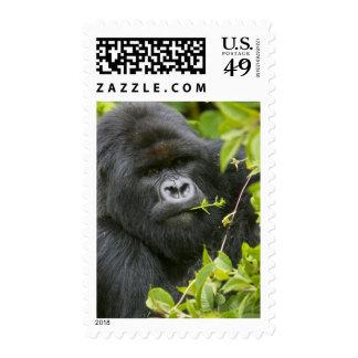 Silverback Mountain Gorilla Postage Stamp