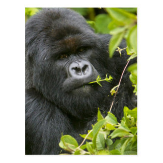 Silverback Mountain Gorilla Postcard
