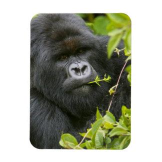 Silverback Mountain Gorilla Rectangular Photo Magnet