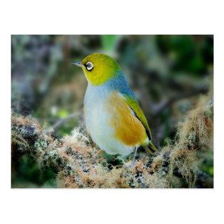 Silvereye bird postcard