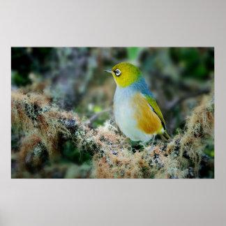 Silvereye bird poster