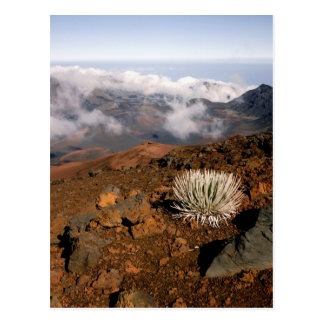 Silversword on Haleakala Crater  Rim from near 3 Postcard