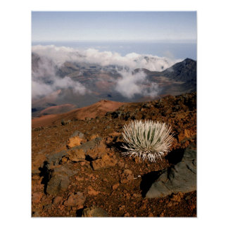Silversword on Haleakala Crater  Rim from near 3 Poster