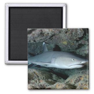 Silvertip Shark Magnet