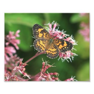 Silvery Checkerspot Butterfly Photo Print