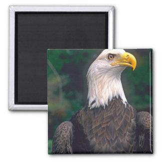 Símbolo americano de la libertad Eagle calvo en Iman De Nevera