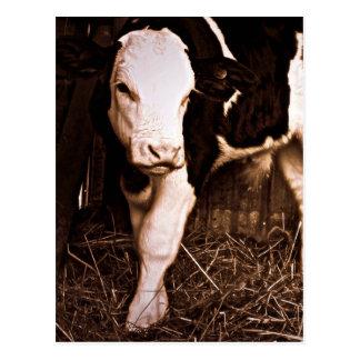 Simmental X Holstein Bull Calf Post Card