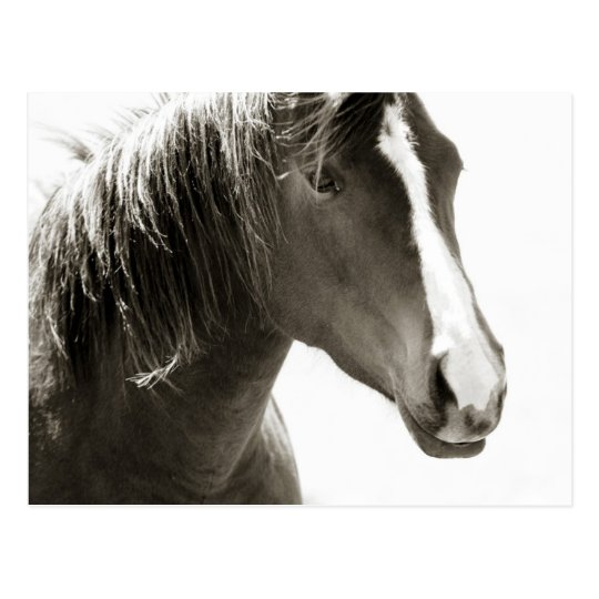 Simple Black and White Close up Horse Postcard