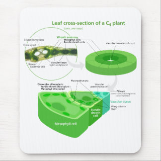 Simplified C4 Photosynthesis Diagram Mouse Pad