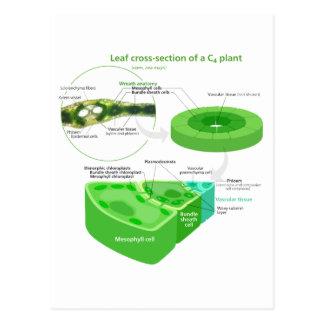Simplified C4 Photosynthesis Diagram Postcard