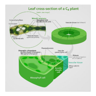 Simplified C4 Photosynthesis Diagram Poster