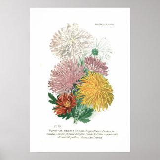 Sinense del pelitre crisantemo poster