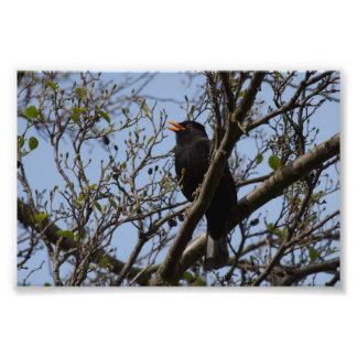 Singing Blackbird Photo Art