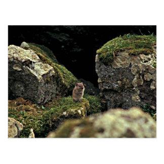 Singing Vole, Hall Island Postcard