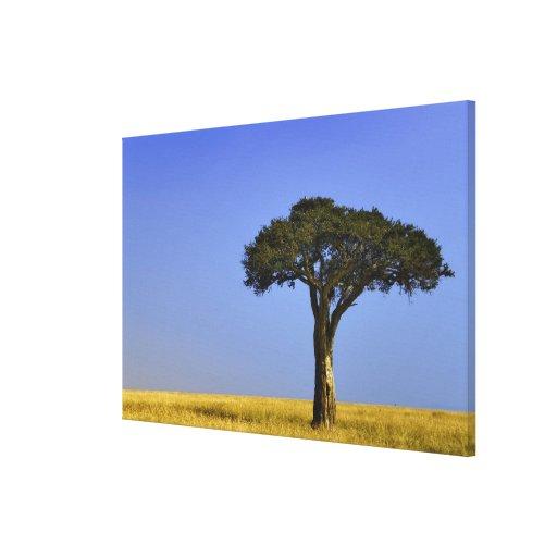 Single Acacia tree on grassy plains, Masai Mara, Stretched Canvas Prints