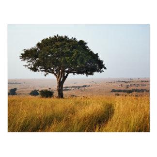 Single acacia tree on grassy plains, Masai Mara, Postcards