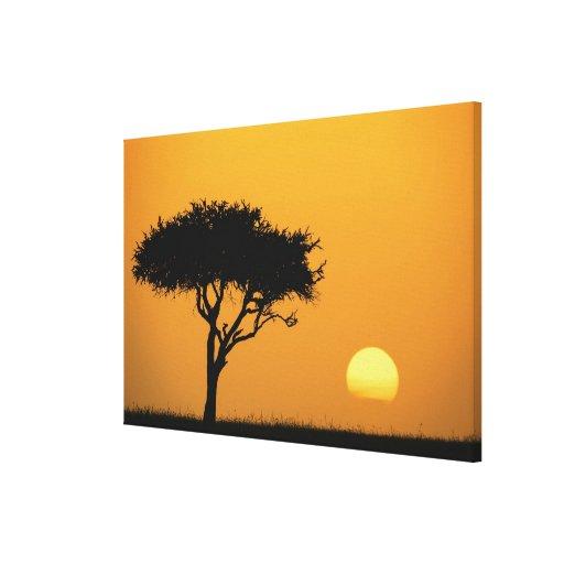 Single Acacia tree silhouetted at sunrise, Masai Canvas Prints