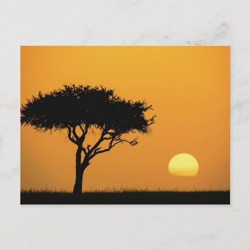 Single Acacia tree silhouetted at sunrise Masai Postcard