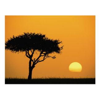 Single Acacia tree silhouetted at sunrise, Masai Postcard