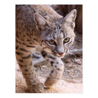 Single Bobcat Postcard
