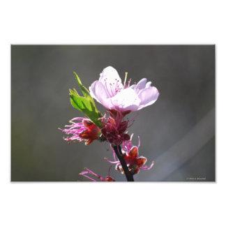 Single Cherry Blossom Photo Art