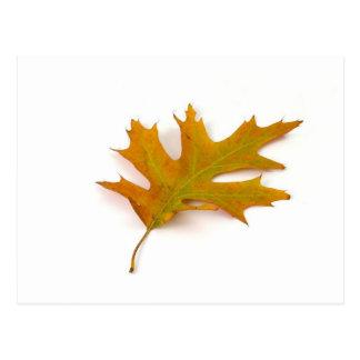 Single Coloured Northern Red Oak Leaf On White Bac Postcard