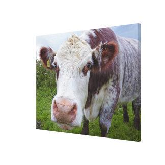 Single cow peerring into camera canvas print