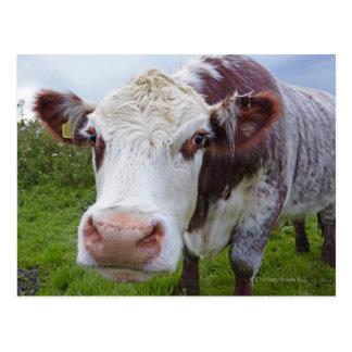 Single cow peerring into camera postcard