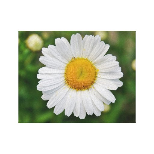 Single Daisy Flower Stretched Canvas Prints